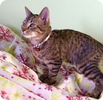 Domestic Shorthair Cat for adoption in Irwin, Pennsylvania - Nicky