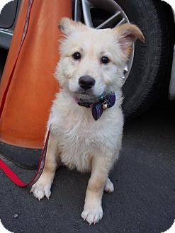Shepherd (Unknown Type) Mix Puppy for adoption in Sunnyvale, California - Vanilla