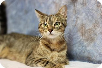 Domestic Shorthair Cat for adoption in Midland, Michigan - Matsu