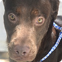 Retriever (Unknown Type) Mix Dog for adoption in St. Thomas, Virgin Islands - Dude