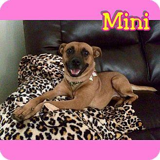 Chihuahua/German Shepherd Dog Mix Dog for adoption in Mesa, Arizona - Mini