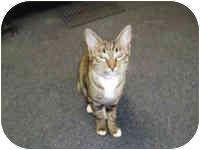 Bengal Cat for adoption in Hamburg, New York - Monkey