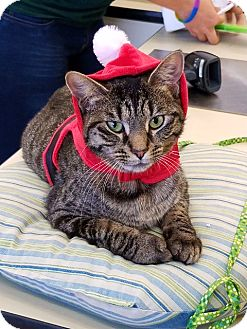Domestic Shorthair Cat for adoption in Northfield, Ohio - Xenia
