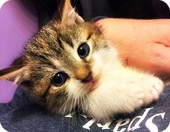Domestic Mediumhair Kitten for adoption in Burlington, North Carolina - BELLE