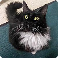 Adopt A Pet :: Fluffy - Palo Cedro, CA