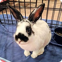 Adopt A Pet :: Pippa - Newtown Square, PA