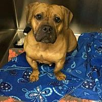 Adopt A Pet :: Abby - Whitestone, NY