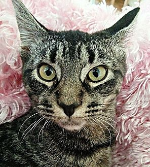 Domestic Shorthair Kitten for adoption in Cherry Hill, New Jersey - Tigress