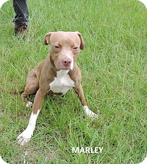Pit Bull Terrier Mix Puppy for adoption in Washington, Georgia - Marley