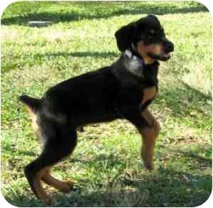 Rottweiler Puppy for adoption in Cedar Creek, Texas - Axel