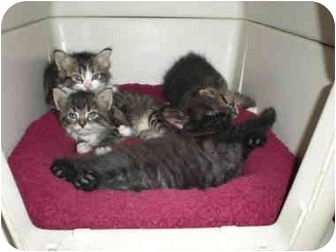 Maine Coon Kitten for adoption in McIntosh, New Mexico - Mei