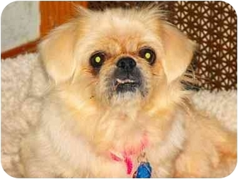 Pekingese Dog for adoption in Virginia Beach, Virginia - Amy Adopted !!