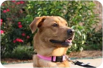Golden Retriever/Labrador Retriever Mix Dog for adoption in Norwich, Connecticut - Mani