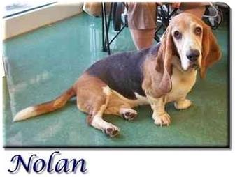 Basset Hound Dog for adoption in Marietta, Georgia - Nolan