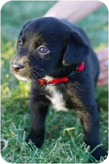 Border Collie/Labrador Retriever Mix Puppy for adoption in Westminster, Colorado - LOGAN