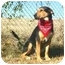 Photo 4 - Black and Tan Coonhound Mix Dog for adoption in Muldrow, Oklahoma - CAESAR II