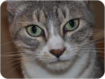 Domestic Shorthair Cat for adoption in Atlanta, Georgia - Melanie
