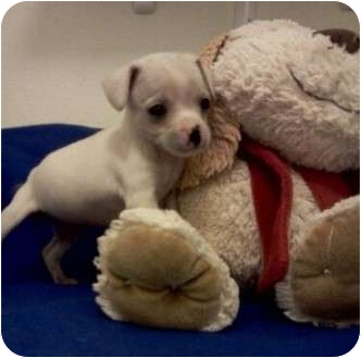 Chihuahua Mix Puppy for adoption in San Antonio, Texas - Peanut