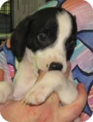 Beagle/Spaniel (Unknown Type) Mix Puppy for adoption in Chicago, Illinois - Dixie