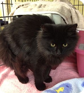 Domestic Longhair Kitten for adoption in Byron Center, Michigan - Bethany