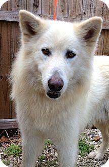 Alaskan Malamute/German Shepherd Dog Mix Dog for adoption in Gainesville, Florida - Balto