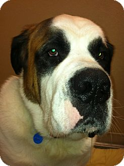 St. Bernard Dog for adoption in Sudbury, Massachusetts - DOUG