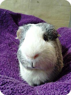 Guinea Pig for adoption in Edinburg, Pennsylvania - Patrick