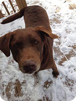 Labrador Retriever Mix Dog for adoption in Albemarle, North Carolina - Skinner