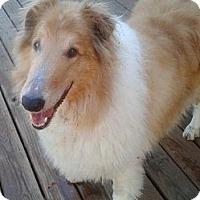 Adopt A Pet :: Laddie Boy II - Minneapolis, MN