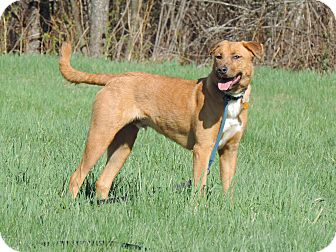 Labrador Retriever/Shepherd (Unknown Type) Mix Dog for adoption in North Haverhill, New Hampshire - Barrett
