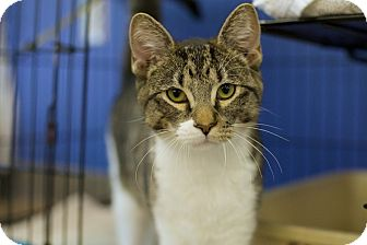 Domestic Shorthair Cat for adoption in Houston, Texas - Rick Grimes