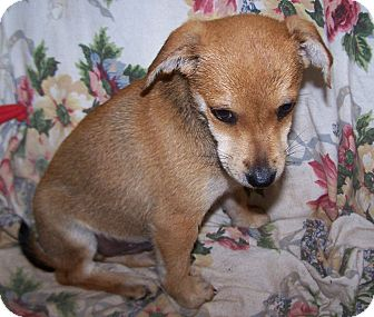 Feist/Terrier (Unknown Type, Small) Mix Puppy for adoption in Greensboro, Georgia - Crockett