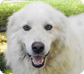 Great Pyrenees Mix Dog for adoption in Salem, New Hampshire - RUDY