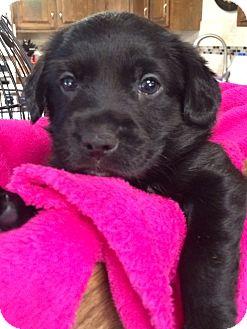Labrador Retriever/Collie Mix Puppy for adoption in Dallas, Texas - Sophie