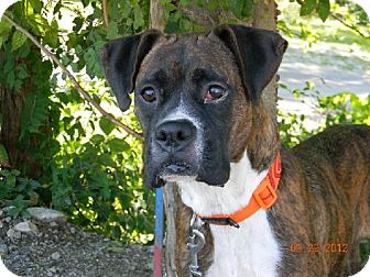 Boxer Dog for adoption in Chester, Illinois - Ceppellin ~ Has Heart Worms ~ Sponsor Needed!!