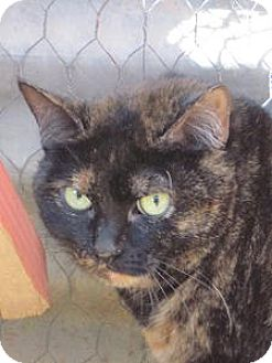 Domestic Shorthair Cat for adoption in Las Cruces, New Mexico - Kelly