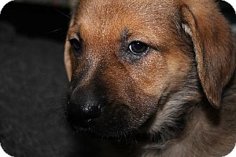 Shepherd (Unknown Type)/Mastiff Mix Puppy for adoption in London, Ontario - Leonard