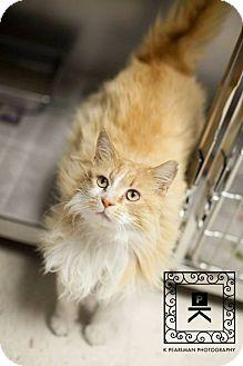 Domestic Longhair Cat for adoption in Fredericksburg, Virginia - AL#15-689