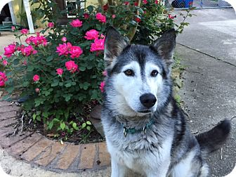 Siberian Husky Dog for adoption in Clay, Alabama - Duchess