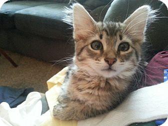 Domestic Shorthair Kitten for adoption in Lawrenceville, Georgia - Monet