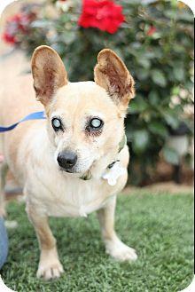 Corgi/Akbash Mix Dog for adoption in Creston, California - Ray Charles