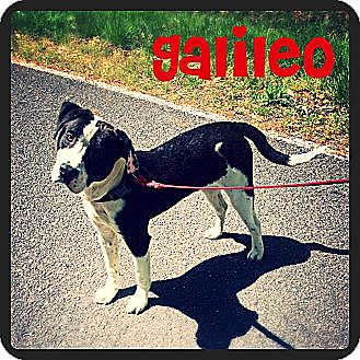 Boston Terrier Mix Dog for adoption in Williamsburg, Virginia - Galiieo