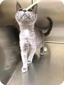 Russian Blue Kitten for adoption in McDonough, Georgia - Contessa