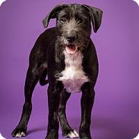 Adopt A Pet :: Beau MEET ME - Norwalk, CT