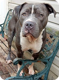 Staffordshire Bull Terrier/American Pit Bull Terrier Mix Dog for adoption in O'Fallon, Missouri - Justice *cuddle buddy*