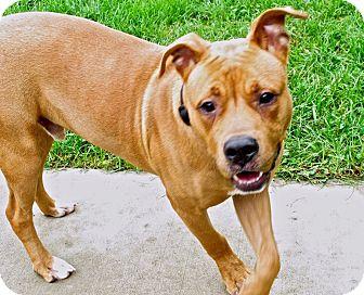Shepherd (Unknown Type)/Retriever (Unknown Type) Mix Dog for adoption in Troy, Michigan - Zok