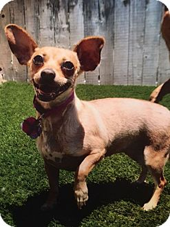 Chihuahua Mix Dog for adoption in Austin, Texas - Chica