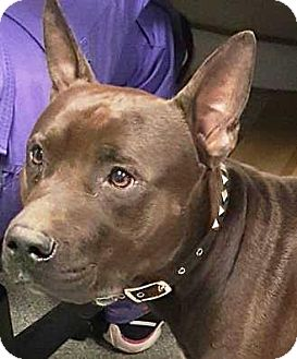 Terrier (Unknown Type, Medium)/Pit Bull Terrier Mix Dog for adoption in Lincolnton, North Carolina - Scooby