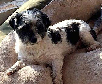 Shih Tzu/Bichon Frise Mix Dog for adoption in Homer Glen, Illinois - Little Boy & Ania