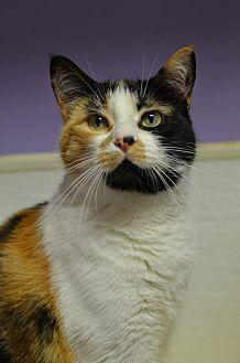 Domestic Shorthair Cat for adoption in Atlanta, Georgia - Cali Bear161669
